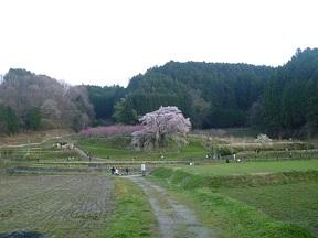 一本桜ですね