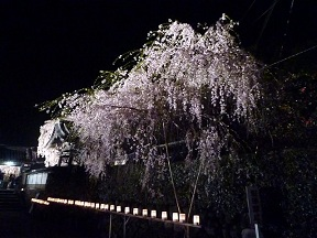 しだれ桜は枝垂桜と書きます