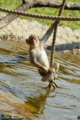 berber-monkey-1380732682XW5.jpg