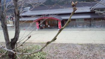 大白川温泉 しらみずの湯 周囲の桜の木