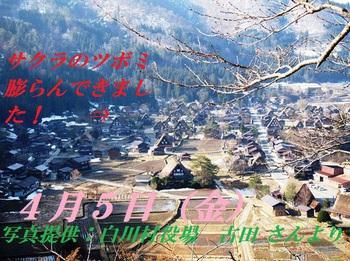 白川郷 天守閣展望台の桜 情報 4月5日