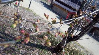 4月13日 大白川温泉 しらみずの湯 サクラ情報