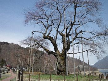 荘川桜 まだツボミ もう少しです