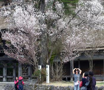 明善寺 本堂と鐘楼門 そして桜