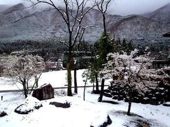 今日は雪 桜 見