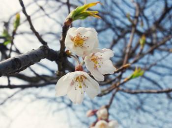 荘川桜 ようやく開花