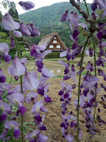 藤の花の季節 世界遺産 白川郷合掌集落 ①