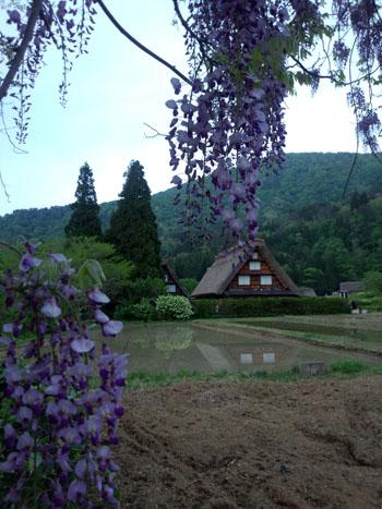 藤の花の季節 世界遺産 白川郷合掌集落 ②