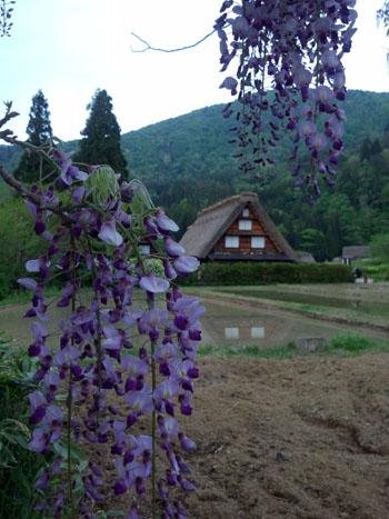 藤の花の季節 世界遺産 白川郷合掌集落 ③