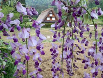 藤の花の季節 世界遺産 白川郷合掌集落 ④