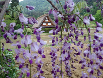 藤の花の季節 世界遺産 白川郷合掌集落 ⑤