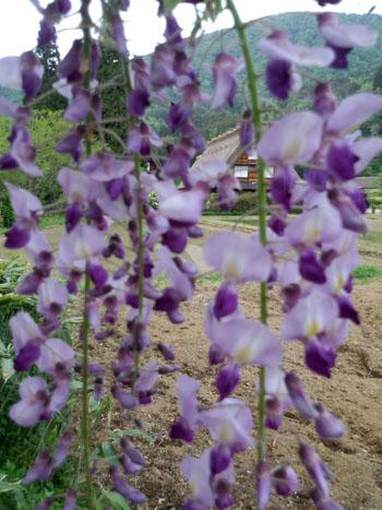 藤の花の季節 世界遺産 白川郷合掌集落 ⑥