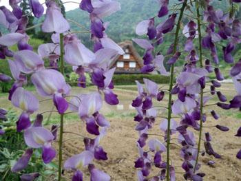 藤の花の季節 世界遺産 白川郷合掌集落 ⑦