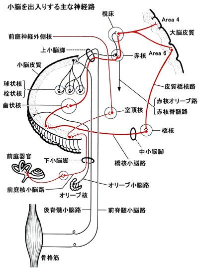 小脳神経経路