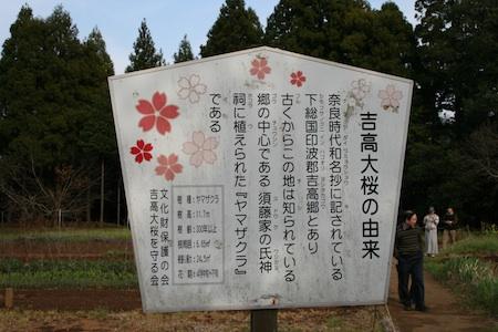 吉高の大桜3