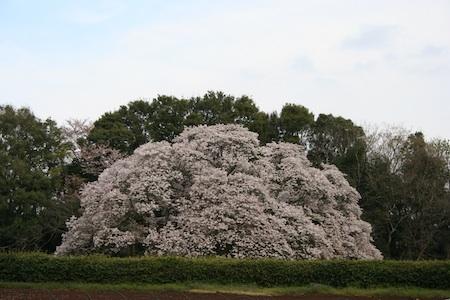吉高の大桜6