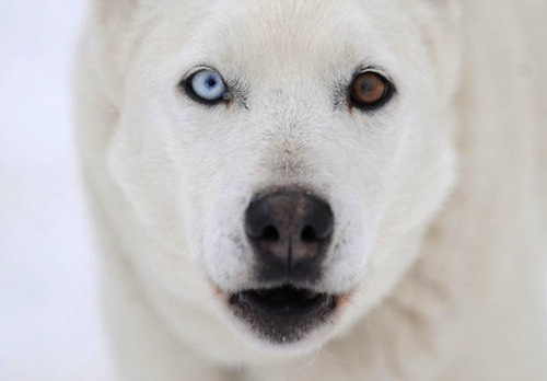 animals-with-different-colored-eyes.jpeg