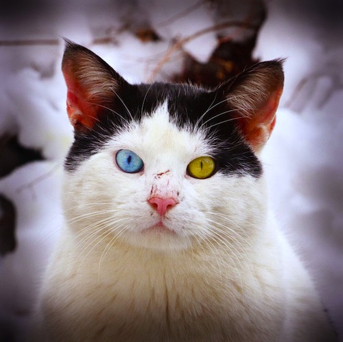 cat-with-different-colored-eyes-2.jpeg