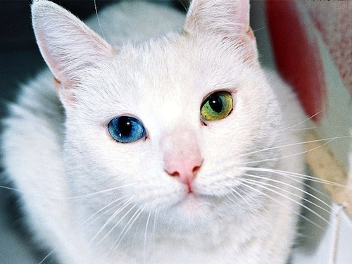 cat-with-two-different-colored-eyes.jpeg