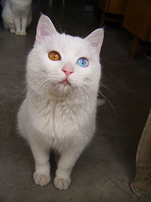 cat-with-two-eyes-colors-Heterochromia.jpeg