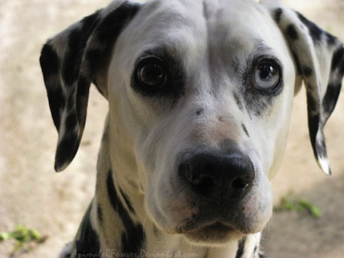 dalmation-with-different-colored-eyes-Heterochromia.jpeg