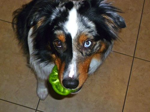 dog-with-different-colored-eyes-1.jpeg