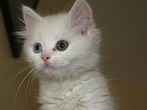 kitten-with-different-colored-eyes-Heterochromia-1.jpeg