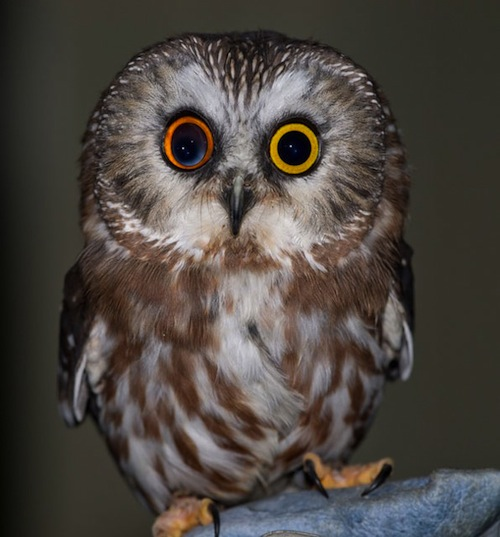 owl-with-different-colored-eyes.jpeg