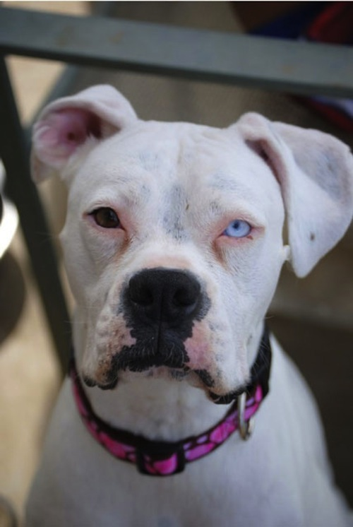 pitbull-with-different-colored-eyes-Heterochromia.jpeg