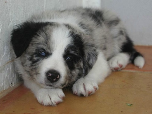 puppy-with-different-colored-eyes-Heterochromia-1.jpeg