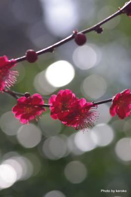 2013-3-26石山寺のキラキラ梅1