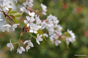 2013-4-23名残の桜(みずの森)