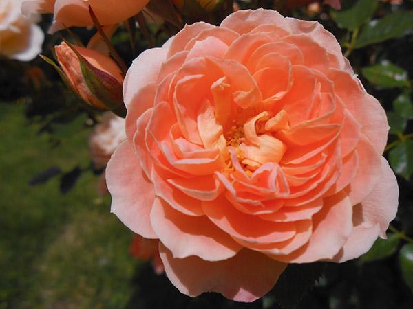rose_bagatelle_01.jpg