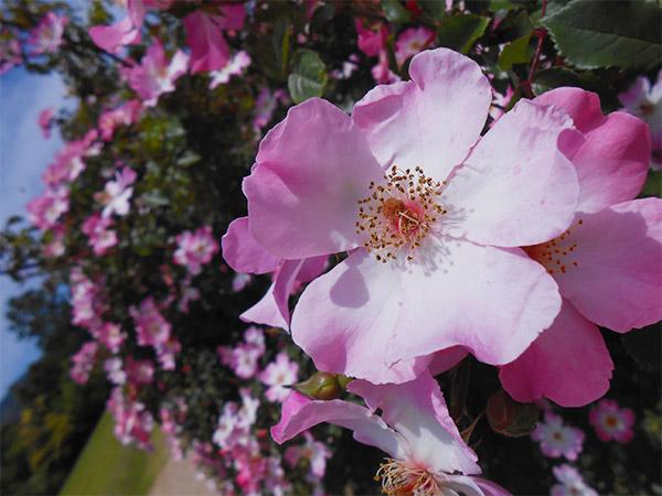 rose_bagatelle_03.jpg