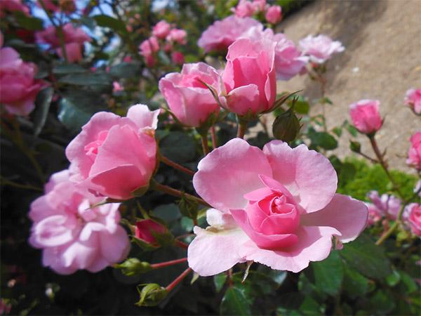 rose_bagatelle_04.jpg