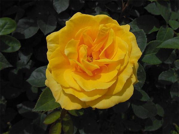 rose_bagatelle_05.jpg