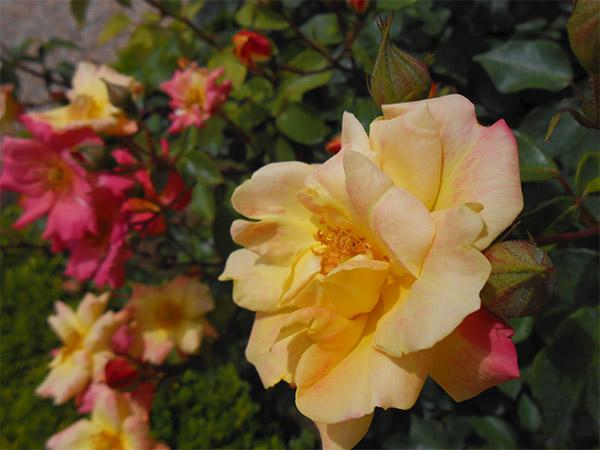 rose_bagatelle_06.jpg