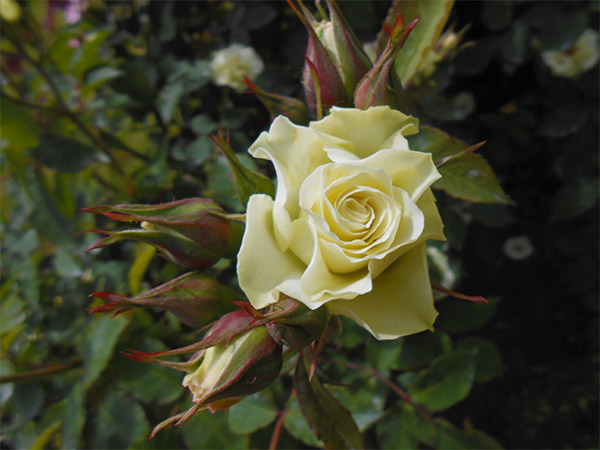 rose_bagatelle_07.jpg