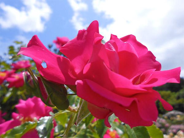rose_bagatelle_08.jpg