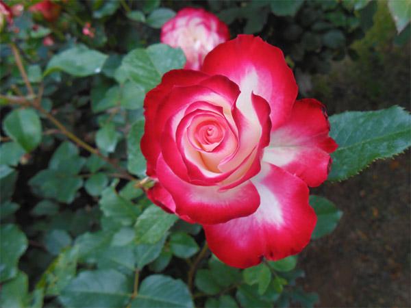 rose_bagatelle_09.jpg