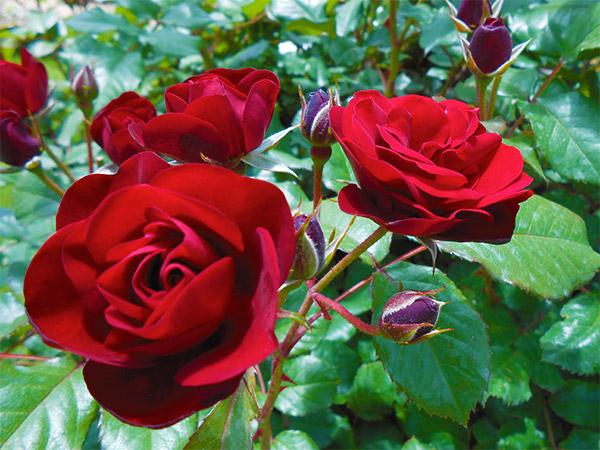 rose_bagatelle_10.jpg