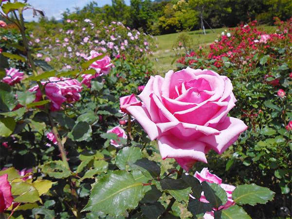 rose_bagatelle_11.jpg