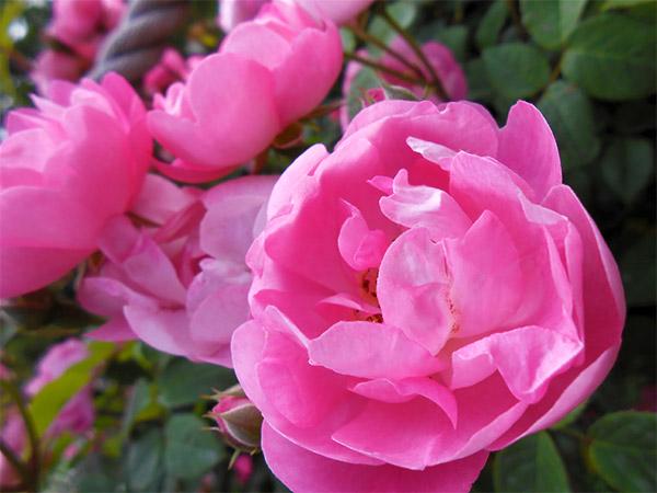 rose_bagatelle_12.jpg