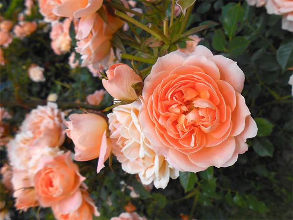 rose_bagatelle_13.jpg