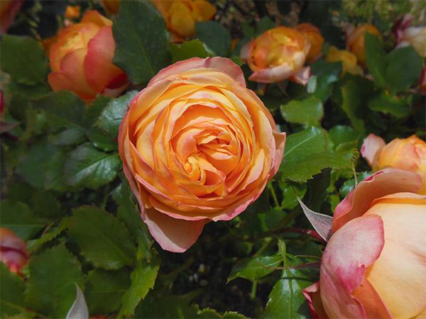 rose_bagatelle_14.jpg