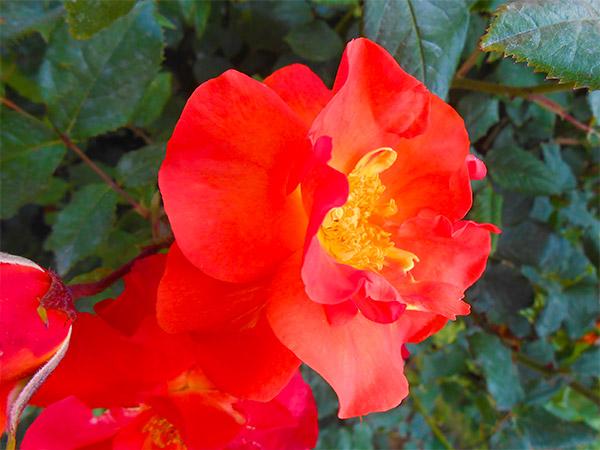 rose_bagatelle_16.jpg