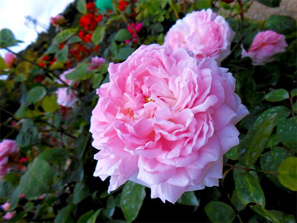 rose_bagatelle_17.jpg