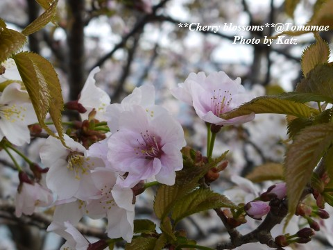 CherryBlossoms5