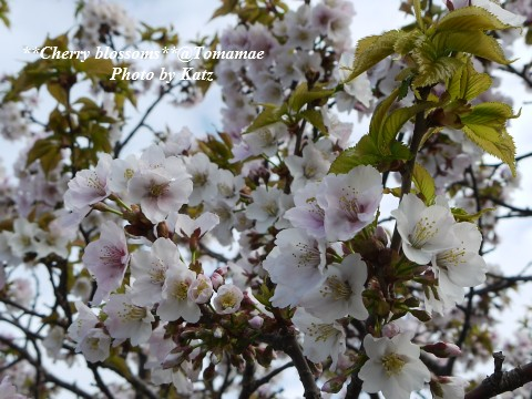 CherryBlossoms4