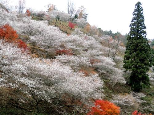 小原桜10